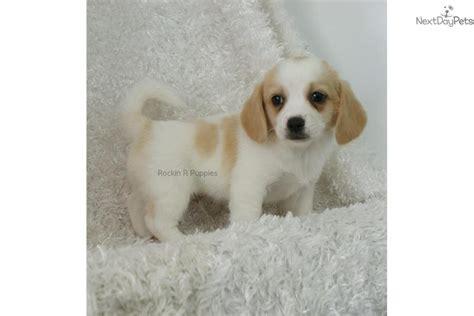 peagle puppies for sale puggle puppy for sale near springfield missouri b5e665c2 4a11