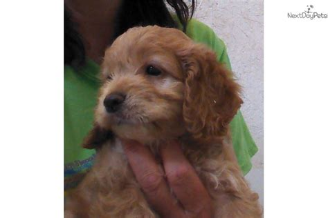 cockapoo puppies tennessee cockapoo puppy for sale near chattanooga tennessee 09adbcd7 f271