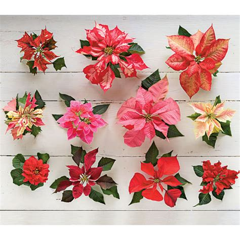 new poinsettia varieties