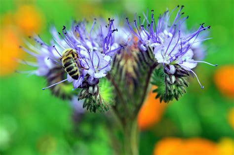 picture bee flower honey pollen