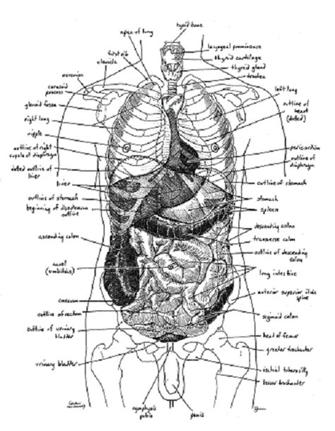 human anatomy organs diagram related keywords suggestions for human anatomy diagram