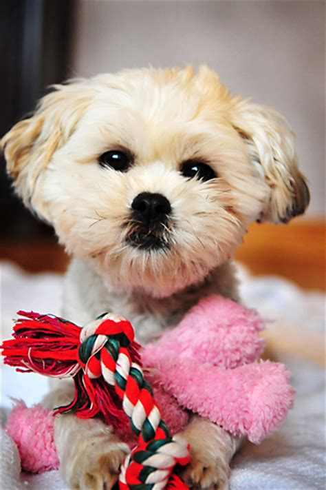 maltese and havanese mix havanese and maltese mix www imgkid the image kid has it