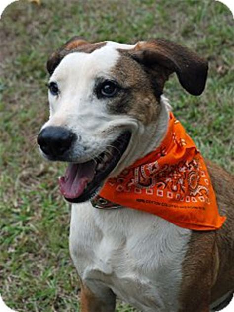 catahoula golden retriever mix archie adoption pending adopted greensboro ga catahoula leopard