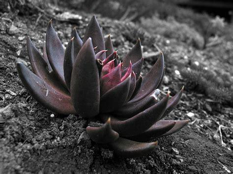 black lotus lotus pictures digital hd photos