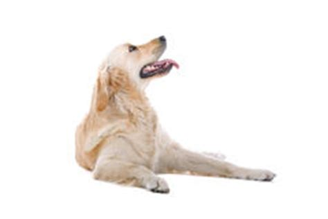 golden retriever drool starving drooling royalty free stock photos image 21223638
