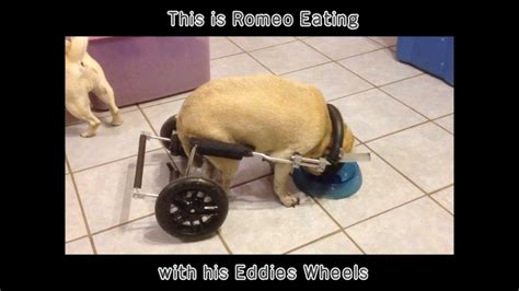 pug in a wheelchair romeo the pug in his wheelchair from eddie s wheels