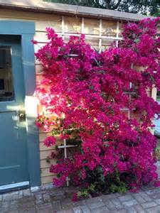 Bougainvillea Trellis Ideas 25 best ideas about bougainvillea trellis on wall trellis garage trellis and