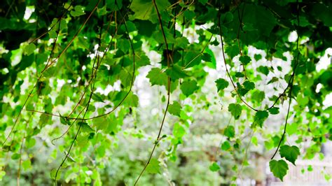 Of The Vine by Wallpaper With Vines Wallpapersafari
