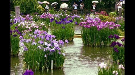 iris flower garden at a japanese shrine