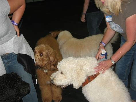 indiana doodle owners labradoodle romp around the world