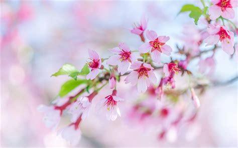 sfondi desktop fiori di primavera scarica sfondi primavera fiori di ciliegio fiori