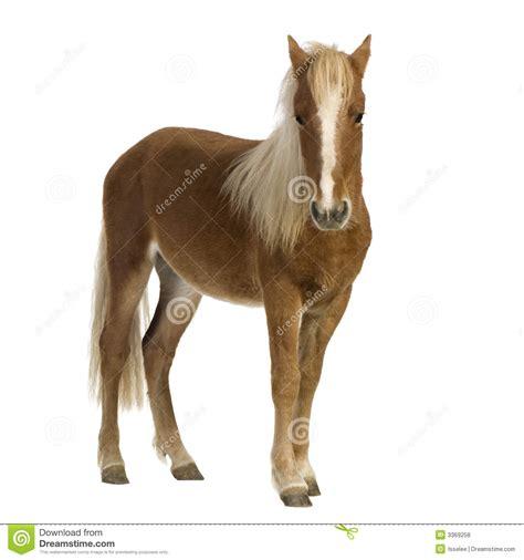 shetland pony stock photos images royalty free shetland shetland pony 2 years royalty free stock photos image