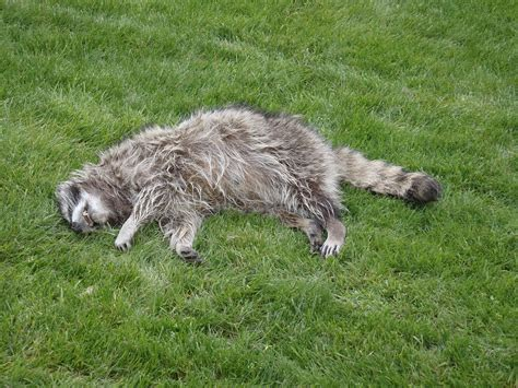 dead raccoon in my backyard dead raccoon pick up oregon dead animal removal