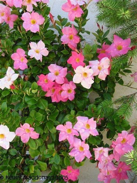 Mandevilla Pink 1 tropicals tender perennials mandevilla laxa