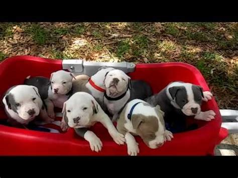 pitbull puppies for sale in albuquerque pitbull puppies dogs for sale in montgomery alabama al 19breeders hoover