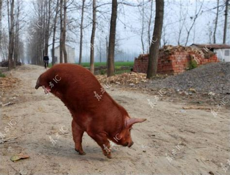 how to to walk on two legs disabled pig learned to walk on two legs 12 pics