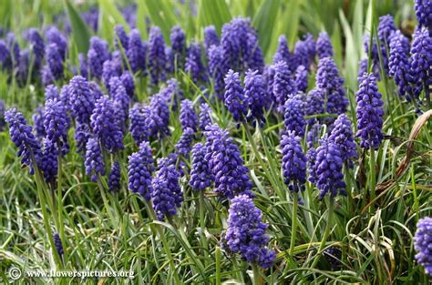 grape hyacinth pictures pictures of grape hyacinths flowers