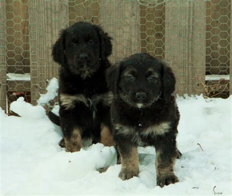 golden retriever newfoundland puppies two adorable newfoundland x golden retriever puppies black and colouring