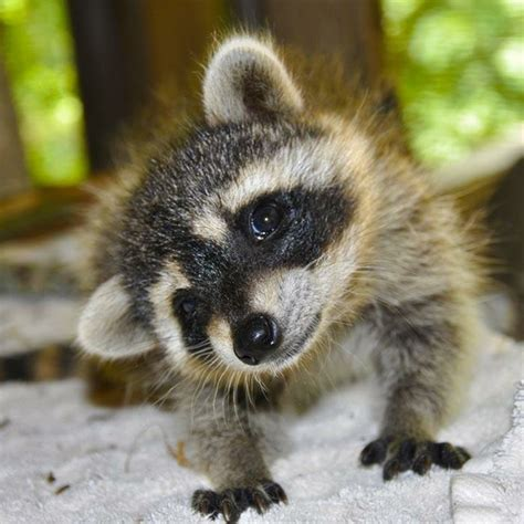 baby marder baby raccoon how animals great and small