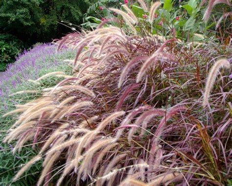 gardensonline pennisetum setaceum