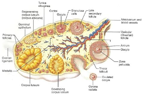 ovary diagram ovary anatomy www pixshark images galleries with a