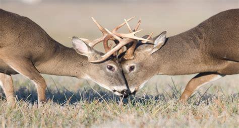 Battling Big Bucks by Buck Fight To The On