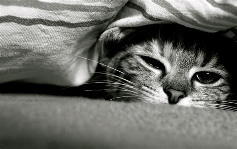 cat under wallpaper funny cat under a blanket wallpapers and images