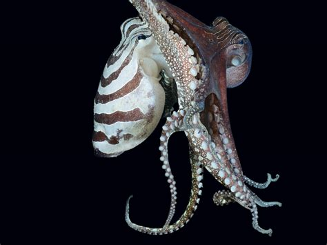 octopus l octopus l what s odd about that octopus it s mating beak
