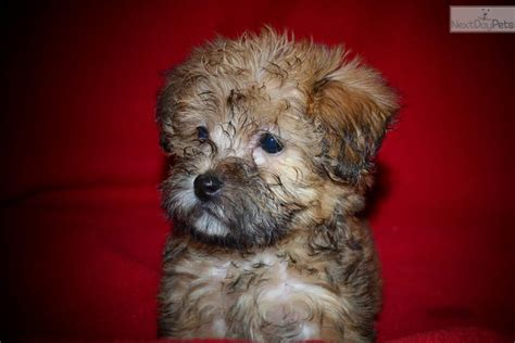 yorkie poo puppies for sale in bc yorkiepoo yorkie poo puppy for sale near east dbe1d94f 3a51
