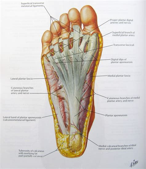 plantar fasciitis diagram plantar fascia anatomy human anatomy diagram