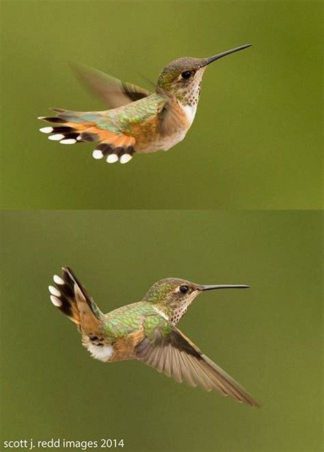 1000 images about bluebirds cardinals and hummingbirds