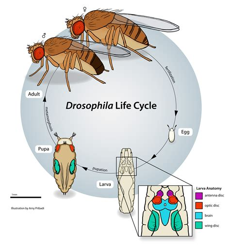 fruit fly cycle fruit fly cycle the embryo project encyclopedia