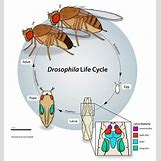 Fruit Fly Life Cycle Stages | 4475 x 4775 jpeg 2060kB