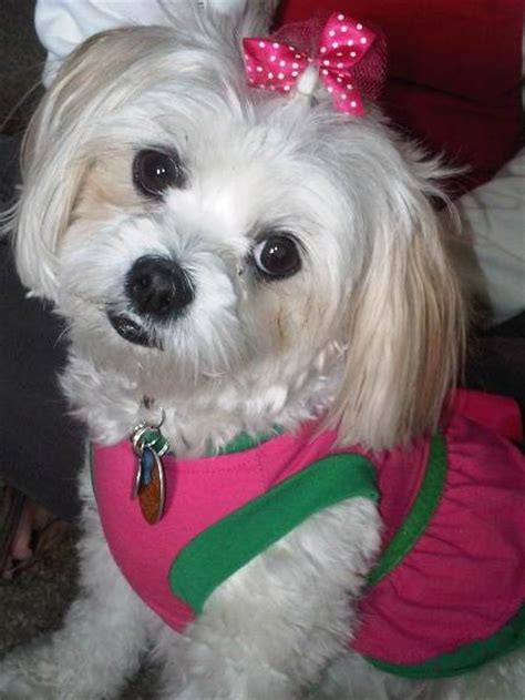 maltese shih tzu rescue dogs 1000 ideas about shih tzu maltese mix on small dogs maltese shih