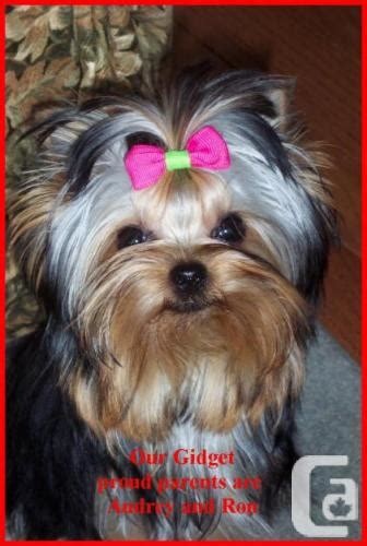 yorkie puppies ontario terrier puppies for sale in ontario classifieds canadianlisted