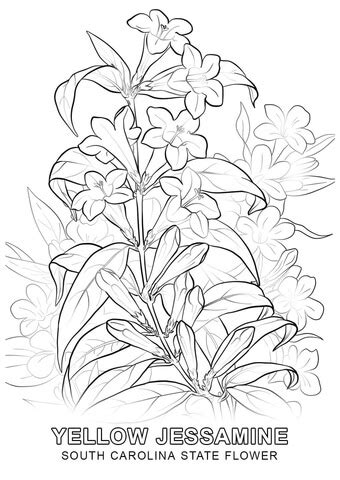 yellow jessamine coloring page south carolina state flower coloring page free printable