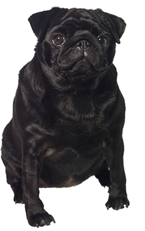 pug ecards black pug cards birthday thank you holidays more
