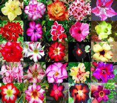 Harga Bibit Bunga Kamboja Jepang harga berbagai jenis bibit bunga adenium tanamanku net