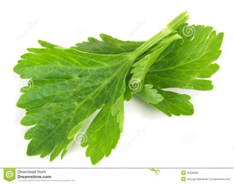 foglie sedano foglie sedano fotografia stock libera da diritti