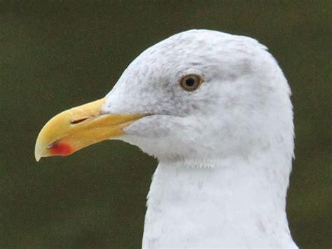gulls san diego birding