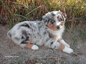 aussie color mini australian shepherd blue merle