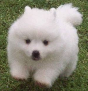 american eskimo puppy for sale american eskimo dogs and puppies for sale