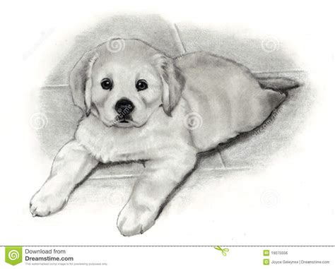 golden retriever puppy drawing pencil drawing golden retriever puppy royalty free stock image image 19075556