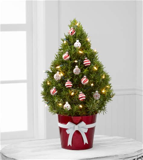 potted live christmas trees in san diego how to green your tree