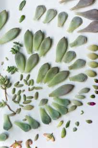 propagating succulents from leaves succulents and sunshine