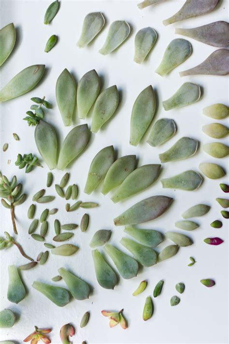 How To Propagate Succulents From Leaves And Cuttings - propagating succulents from leaves part 2 cassidy tuttle
