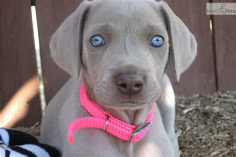 weimaraner puppies for sale in nc weimaraner puppies for sale nc breeds picture