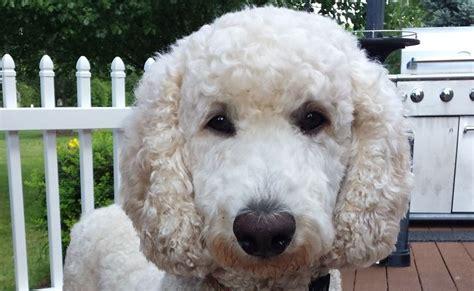 popular poodle names 10 best poodle names