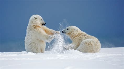 two polar bears in a bathtub fonds d ecran 1920x1080 ours ours blanc deux neige animaux