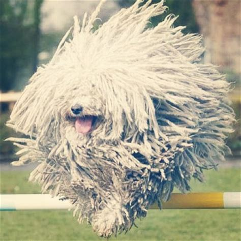 dogs with dreads with dreadlocks breed breeds picture